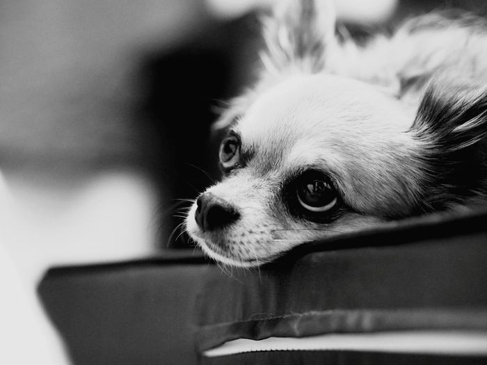 Close-Up Of Chihuahua