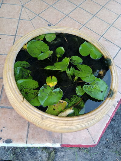 High Angle View Green Color Day Leaf Outdoors No People Nature Close-up Lotus Lotus Water Lily Lotus Pond Lotus Bowl Lotus Planting