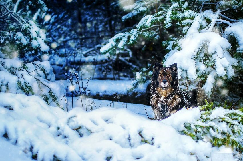 Finnishlapphund in winter wonderland Winter Snow Weather Tree Nature Outdoors Snowing Beauty In Nature Day Winter Dog Winter Wonderland Wintertime Finnishlapphund Finnish Lapphund Cold Weather Cold Temperature Blue ChristmasDog Outdoors Dogslife Dog Wood Forest Snowing Beautiful