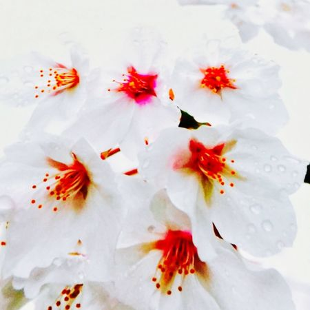 EyeEm Selects Flower Fragility Petal Beauty In Nature No People Freshness High Angle View Nature Flower Head Close-up Stamen Day Outdoors EyeEmNewHere EyeEmNewHere EyeEm Best Shots Japan Photography Be. Ready.