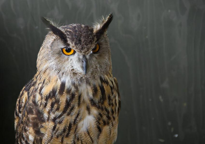 Alertness Animal Eye Animal Head  Beak Beauty In Nature Bird Bird Of Prey Close-up Eagle Owl  Feather  Focus On Foreground Nature Orange Color Owl Portrait Wildlife
