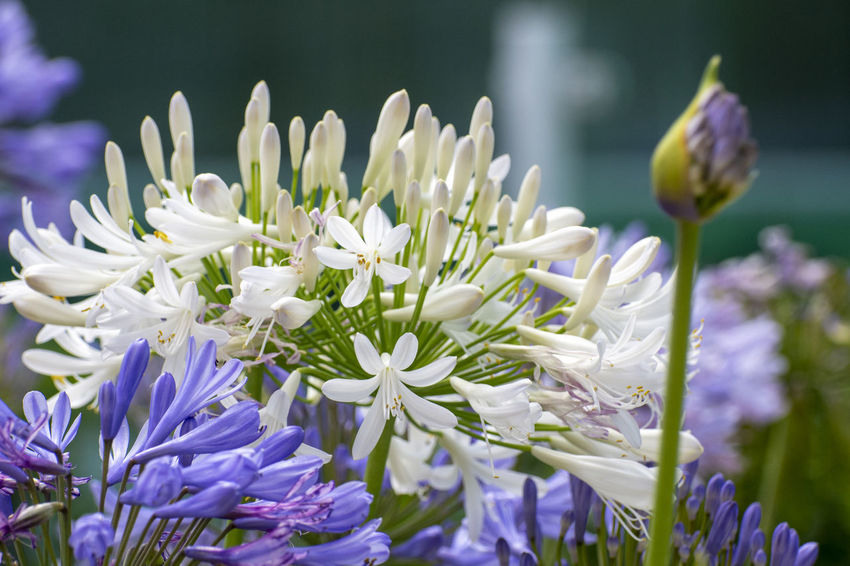 The flowers. Flowering Plant Flower Vulnerability  Fragility Beauty In Nature Freshness Plant Growth Petal Close-up Flower Head Inflorescence Purple Focus On Foreground White Color Nature No People Day Botany Plant Stem Springtime Crocus EyeEmNewHere EyeEm Selects EyeEm Gallery
