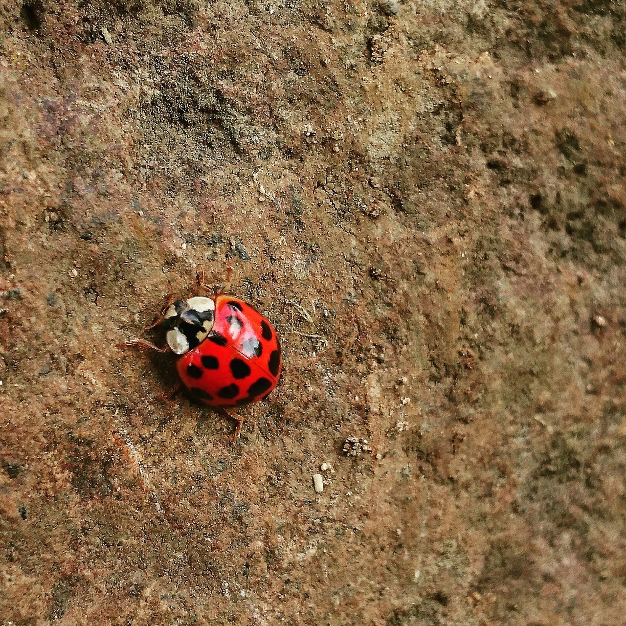 insect, animals in the wild, animal themes, one animal, red, ladybug, spotted, wildlife, high angle view, tiny, animal wildlife, day, outdoors, no people, close-up, nature, full length
