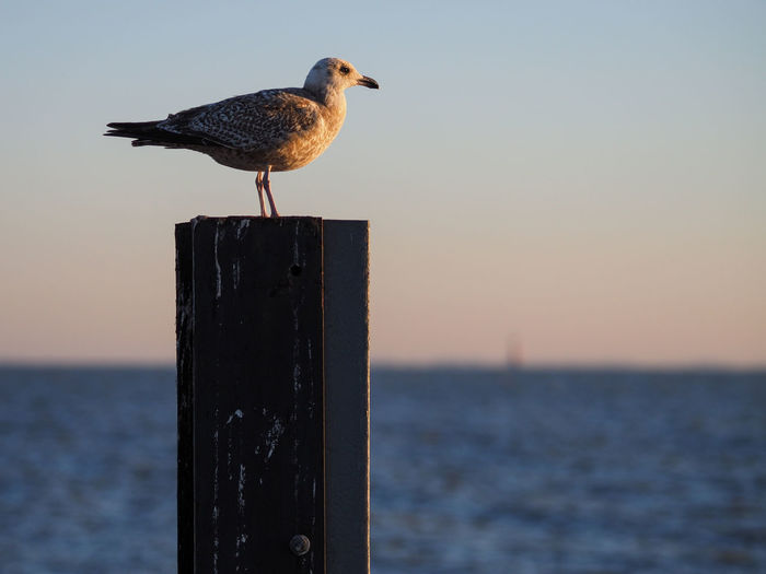 Seagulls perching on wooden post by sea against sky