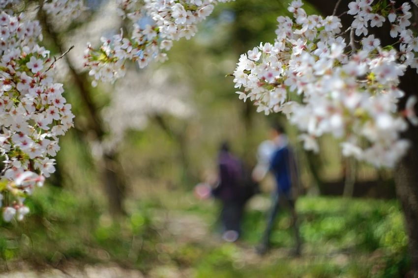 ๑๑ Capture The Moment Uzukiの桜 Depth Of Field Bokeh Background Two People Focus On Foreground Sakura Fantasy Fragility Springtime Beauty In Nature Rural Scene Uzuki Of The Flower Still Life Snapshots Of Life Fine Art Landscapes Fantastic Cherry Blossoms Full Frame Detail SONY A7ii Oldlens Takumar EyeEm Best Shots 17_04 Break The Mold TCPM Art Is Everywhere EyeEmNewHere