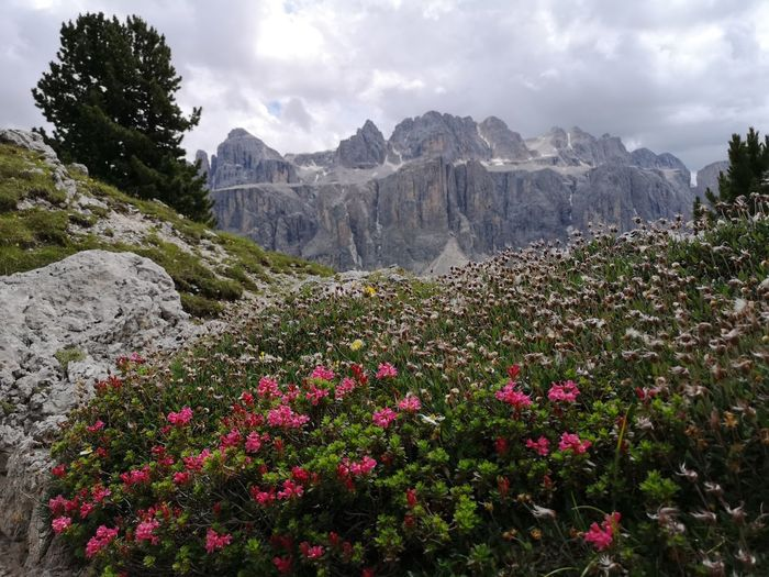 Those alpine flowers are something very special to me. Though one can have them in the garden, they look the most beautiful in the wild. In the background you see the Sella. Alpine Hiking Dolomites, Italy Flower Blooming Beauty In Nature Alpine Landscape Hiking Betterlandscapes Outdoors Flower Mountain Flower Head Springtime Tree Sky Mountain Range Cloud - Sky Plant Landscape Mountain Peak Physical Geography Rock Formation