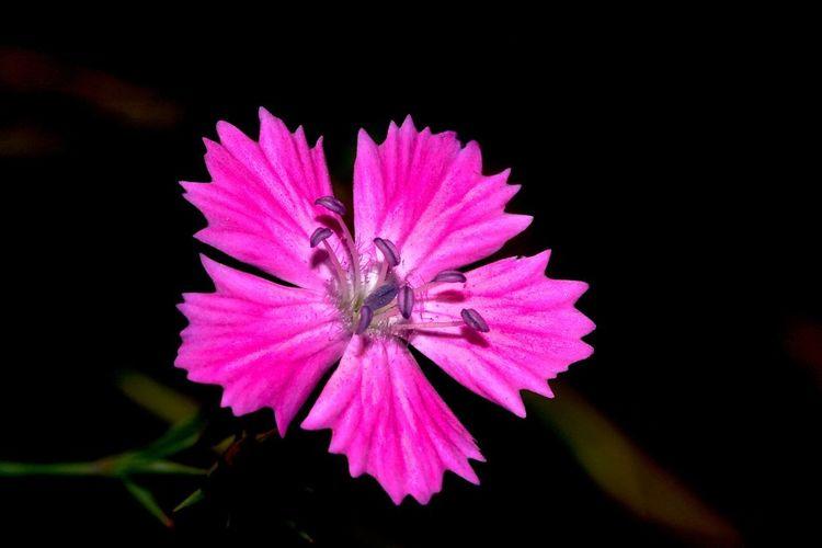 Flore Nature Black Campagne Couleur Fleur Flower Macro Noir Oeillet Pink Color Pétale étamine