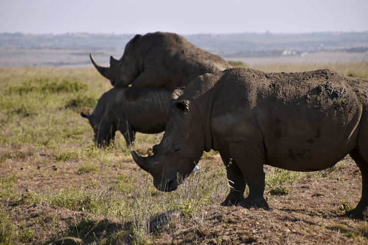 Nature finds a way. Taken on Christmas day 2017 Endangered  Exclusive  Hope Horns Mating Animal Animal Themes Animal Wildlife Animals In The Wild Day Environment Field Grass Group Of Animals Herbivorous Land Landscape Mammal Nature No People Outdoors Rhino Rhinoceros Side View Wildlife My Best Photo