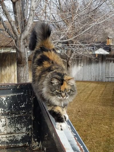 morning stretches Calico Cat Feline Friends Country Life Family Cat Animal Therapy Snickers The Cat Country Kitty Morning Stretches One Animal Animal Themes Mammal Outdoors