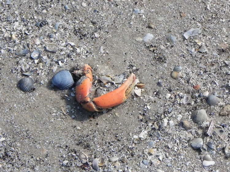 Animal Themes Beach Beach Photography Day Leg Of A Crab Nature No People Outdoor Photography Outdoors Sand Seashells, Sand And Water