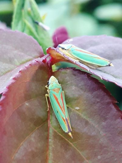 Nature Animal Wildlife No People Day Outdoors Leaf Animals In The Wild Animal Themes Green Color Beauty In Nature Nature Plant Insect Freshness Zikade Zikaden
