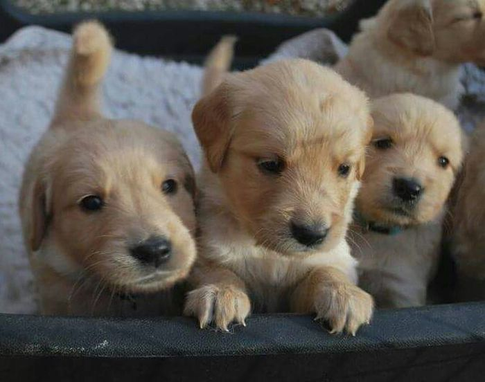 Dog Pets Looking At Camera Puppy Domestic Animals Animal Themes Young Animal Golden Retriever Dogs Life Retriever Dogs Dogslife Dogs Playing  Beauty In Nature Hund Hunde Play Welpen Niedlich Cute Puppy❤ Süss Neugierig Neugier