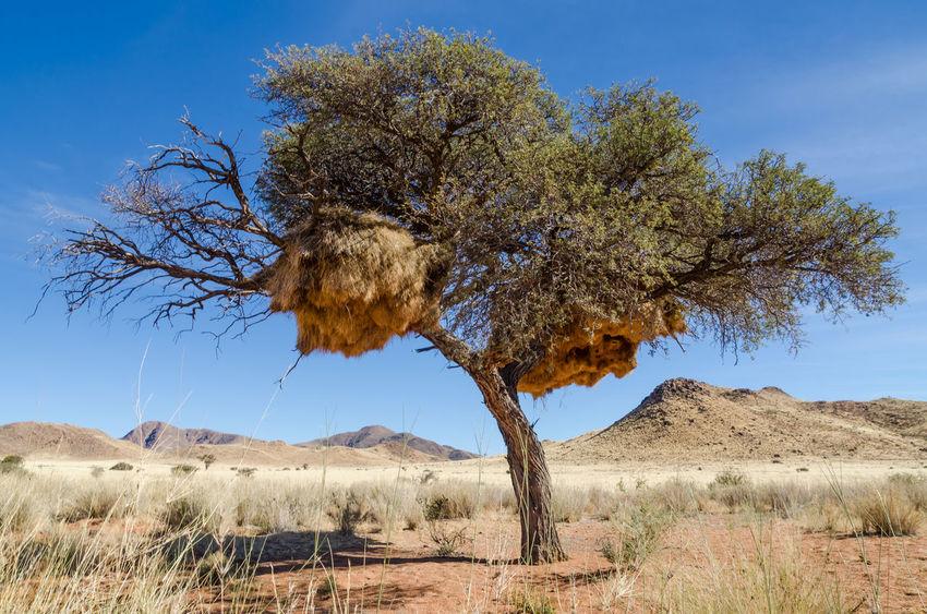 Tree Akazie Acacia Acacia Tree Weaver Bird African Africa Namibia Landscape