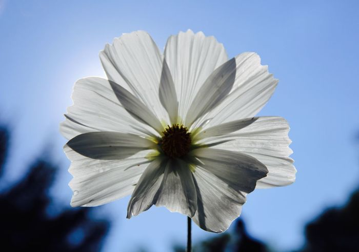 Beauty In Nature Blooming Close-up Day Flower Flower Head More at https://thetinmansheart.com Fragility Freshness Growth Mike Stouffer Nature No People Outdoors Petal Plant Sky TheSixthLens White Color