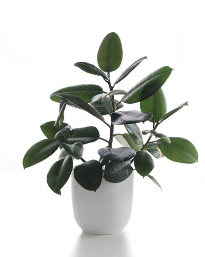 Gomero White Background Growth Plant Part Plant Leaf Indoors  Studio Shot Close-up Potted Plant Nature Green Color Still Life Cut Out Beauty In Nature White Color Vase Freshness Pot Copy Space Houseplant Small Flower Pot Rubber Tree