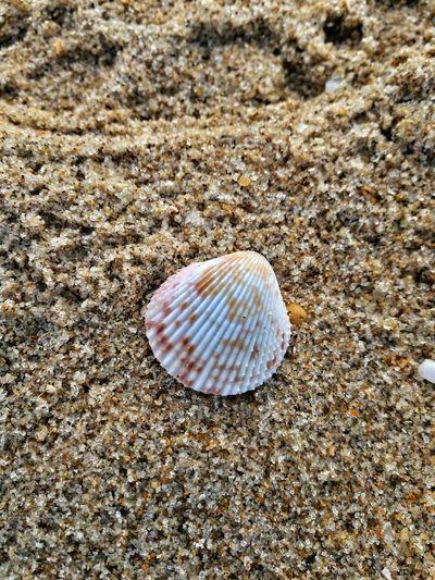 Hello EyeEm friends Beach Seashell Beauty In Nature EyeEm Nature Lover Mate9 Shells🐚 Amazing Nature Sea Life Naturezaperfeita LeicaM9