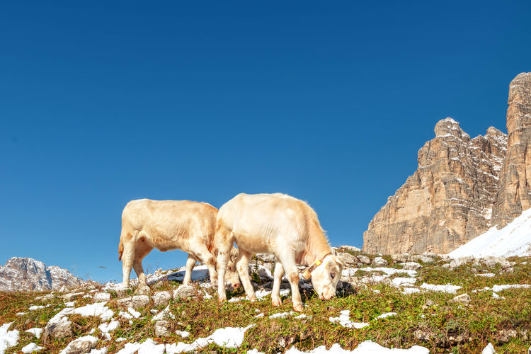 View of sheep on rock against clear blue sky