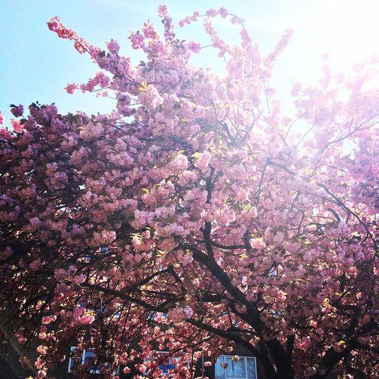 In bloom Spring Blossom in SouthLondon Pretty