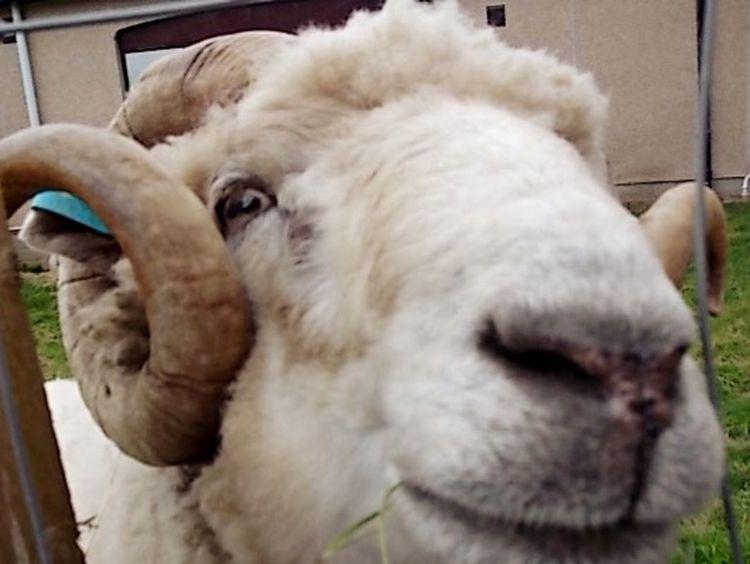 Service Animals Cute Animals Beautifulanimals Beautiful Animal EyeEm Animal Lover Sheep