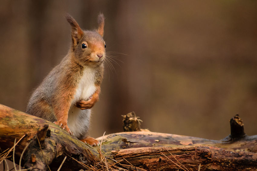 Red Squirrel Nature Nature On Your Doorstep Red Squirrel Squirrel Squirrel Park WoodLand Animal Themes Animals In The Wild Close-up Cute Day Focus On Foreground Formby Furry Mammal Nature No People One Animal Outdoors Rodent Squirrel