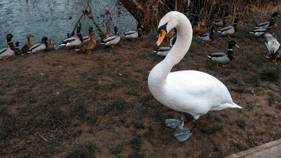Singe white swan and ducks by river Severn Bird Animal Themes Animal Wildlife Animals In The Wild Group Of Animals Animal Vertebrate Large Group Of Animals White Color Water Swan Day Nature Lake No People Water Bird High Angle View Duck Flock Of Birds