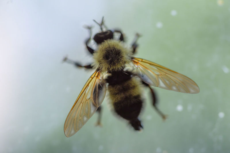 macro closeup of a single bee diffused silhouette on window indoors Bees Silhouette Allergic Allergy Beauty In Nature Bee Blurred Effect Close-up Day Detail Diffused Light Flower Focus On Foreground Fragility Freshness Insect Moody Nature No People One Animal Soft Focus Trapped Window Wings