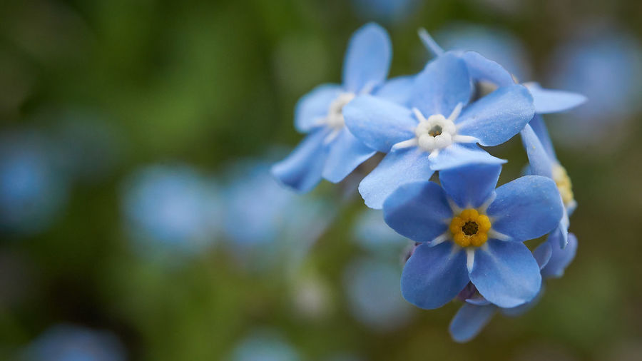 https://youtu.be/idLCU8yoo9Q Flowering Plant Flower Plant Freshness Fragility Vulnerability  Petal Beauty In Nature Inflorescence Close-up Flower Head Growth Blue Nature Purple No People Focus On Foreground Day Outdoors Selective Focus