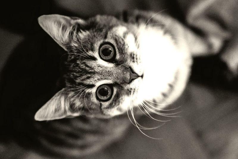 Pet Cute Cats Kittenface Animal Whisker Feline Cute Kitten Cat Small Cat Grey
