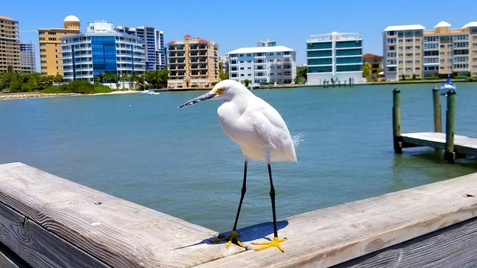 Bird Water Animal Wildlife One Animal Animals In The Wild Outdoors Perching No People Day Animal Themes Sea Building Exterior Nature Sky Architecture Saltlife Florida Nature Beach Photography Wildlife Photography Winged Beauty White Bird Florida Birds Birds Of EyeEm  Clear Sky