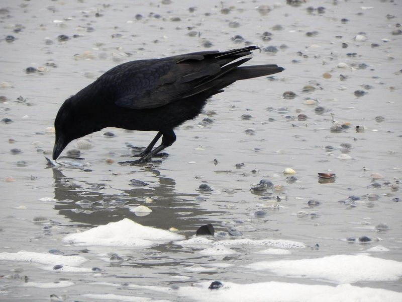 Animal Themes Animal Wildlife Animals In The Wild At The Beach Bird Black Color Day Mid-air Nature No People One Animal Outdoors Raven - Bird The Raven Water