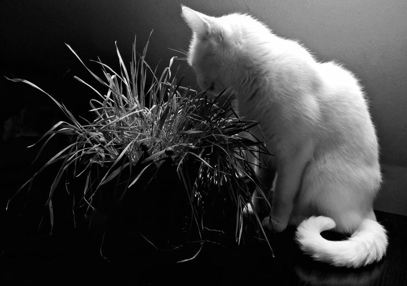 White Cat Meal Eating Healthy Eating Grass Grass No People Tranquil Scene Tranquility Blackandwhite Monochrome Somber Miss Sophie Healthy Eating Healthy Food Fresh Produce Table Mobilephotography Lumia1520 Lumiaphotography Monochrome Photograhy