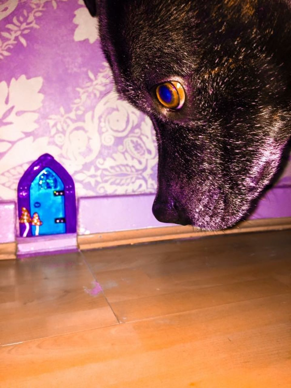 one animal, indoors, pets, animal themes, domestic animals, domestic cat, purple, home interior, no people, close-up, mammal, day
