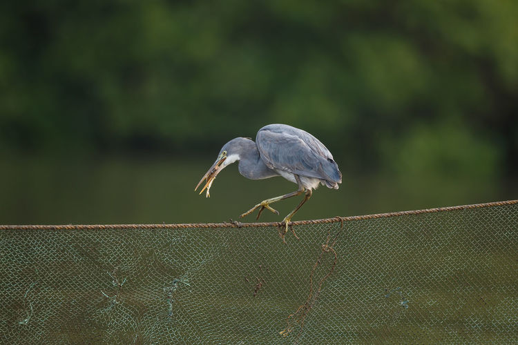 A western reef egret with a catch