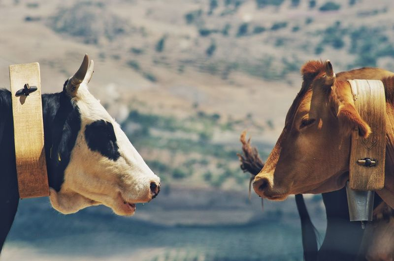 View of two cows