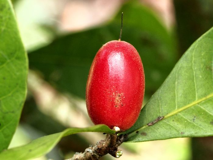 Close-up of strawberry on tree