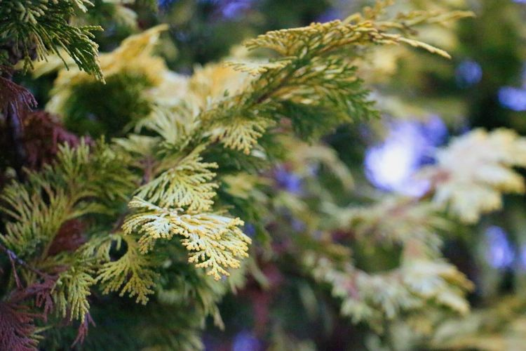 Tree Pine Tree Coniferous Tree Nature No People Close-up Growth Branch Needle - Plant Part Outdoors Winter Beauty In Nature Fir Tree Day