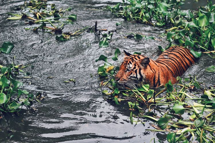 High Angle View Of Tiger Walking In Lake