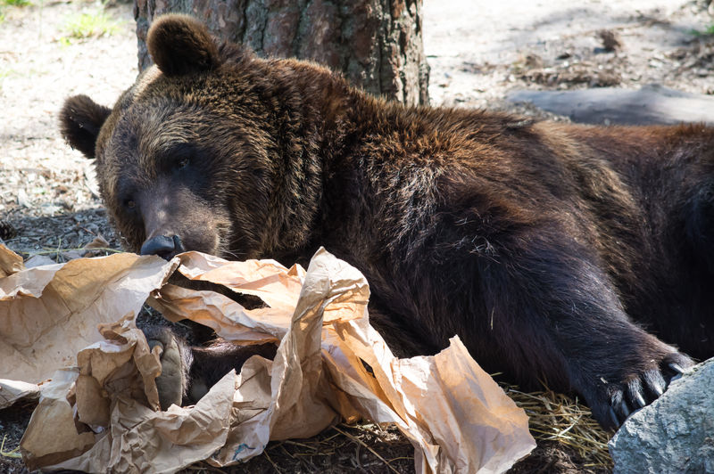 Brown Bear Relaxing By Crumpled Paper On Field At Zoo