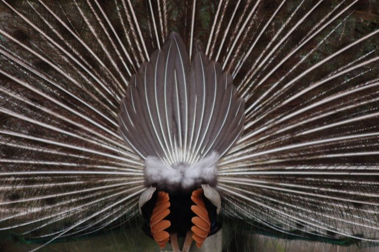 Rear view of peacock with fanned out feathers