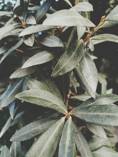 Botanical Gardens Nature Environmental Issues Tree Leaf Plant Olive Trees