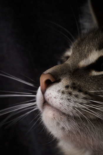 Close-up of a cat's nose. portrait of a beautiful gray cat on a dark background