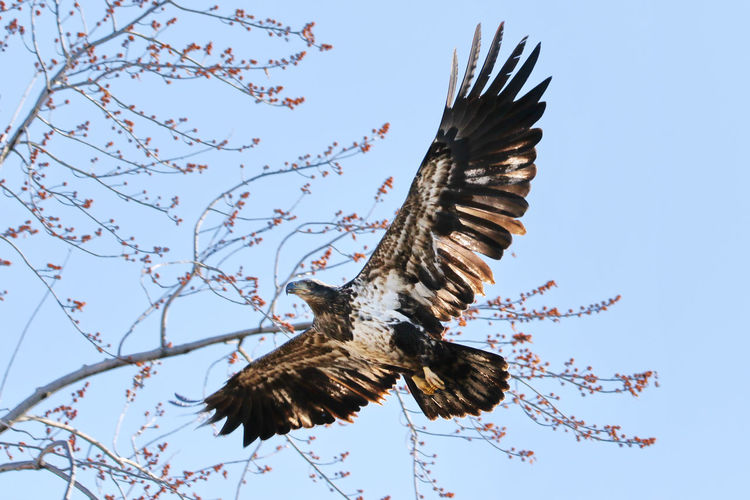 Juvenile Bald Eagle EyeEm Best Shots EyeEm Nature Lover EyeEm Gallery Juvenile Bald Eagle Animal Themes Animal Wildlife Animals In The Wild Beauty In Nature Bird Bird Of Prey Branch Close-up Day Eye4photography  Flying Low Angle View Mid-air Motion Nature No People Outdoors Sky Spread Wings Tree