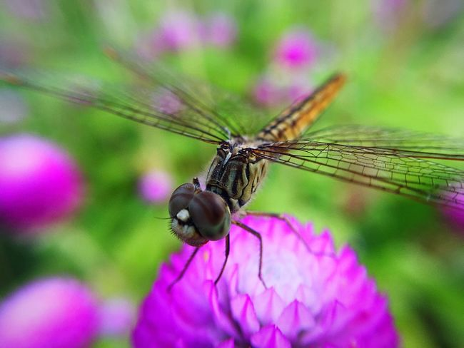 IPhone Macro Insect Photography Insect Flower Naturelovers Nature Grass IPhoneography Nature Photography Macro Green Green Nature Beauty In Nature Beaytifulview Dragonfly Nature Insects Dragonfly Photograohy Dragonflycloseup Wing Dragonfly💛 Dragonfly Dragonfly On Flower