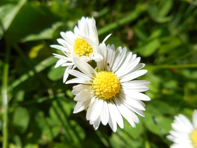 Camomille flower Camomille Flower Fresh Freshness Herbs Macro_collection Summertime Sun White