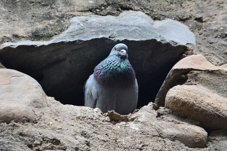 Pegion Bird