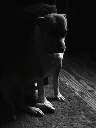 American Pit Bull Terrier Shadow And Light Animal Themes Dog Silhouette Hello World Taking Photos EyeEm Best Shots - Black + White EyeEm Bnw Black And White Blackandwhite Capture The Moment Pet Love Personal Perspective Check This Out EyeEm Indoors  Pitbull Solemn Moment Light Through The Window One Animal No People EyeEm Gallery Dog Portrait EyeEm Pets The Week On EyeEm Pet Portraits Black And White Friday See The Light Visual Creativity The Portraitist - 2018 EyeEm Awards