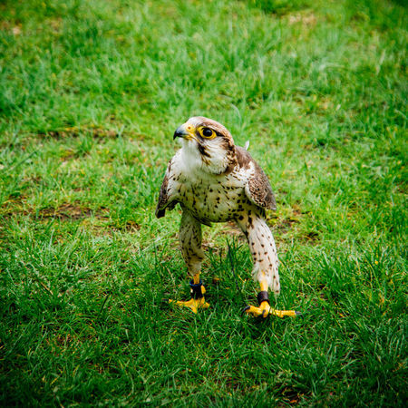 Avian Bird Bird Of Prey Bird Portait Falcon Falconry Falconry Display Focus On Foreground Grass Grassy One Animal