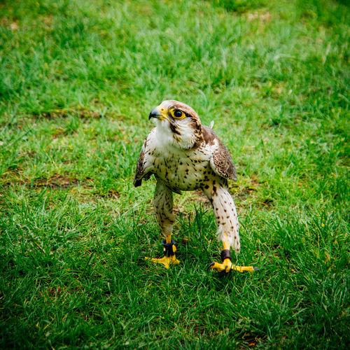 Avian Bird Bird Of Prey Bird Portait Falcon Falconry Falconry Display Focus On Foreground Grass Grassy One Animal