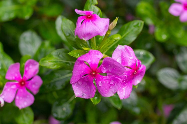 Close-up of wet pink rose flower