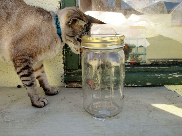 Cat on window still looking at butterfly trapped in jar